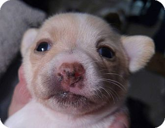 Chihuahua Puppy for adoption in Henderson, Nevada - Jasper
