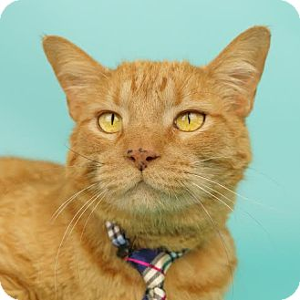 Domestic Shorthair Cat for adoption in Columbia, Illinois - Angelo