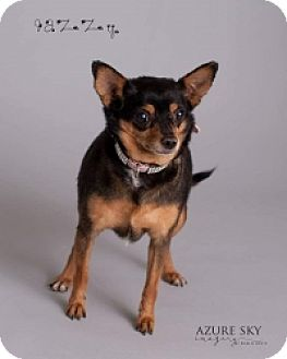 Chihuahua Mix Dog for adoption in Mesa, Arizona - Jazzy