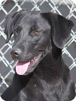Labrador Retriever/Shepherd (Unknown Type) Mix Dog for adoption in Jewett City, Connecticut - Rickie Wilis