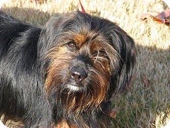 Yorkie, Yorkshire Terrier/Cocker Spaniel Mix Dog for adoption in Nanuet, New York - Otis