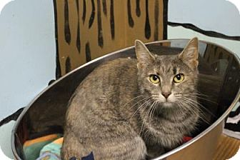 Domestic Shorthair Cat for adoption in West Des Moines, Iowa - Daisy