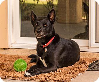 Belgian Malinois Mix Dog for adoption in Phoenix, Arizona - Molly