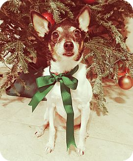 Toy Fox Terrier Mix Dog for adoption in Portland, Oregon - Marcus