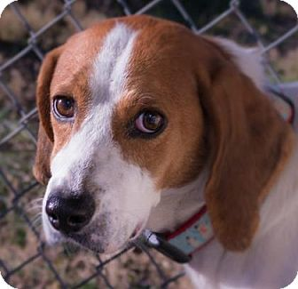 Hound (Unknown Type) Mix Dog for adoption in Fairfax, Virginia - Devon