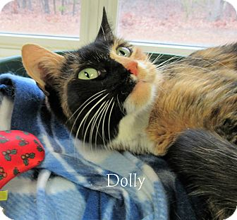 Domestic Shorthair Cat for adoption in Jackson, New Jersey - Dolly