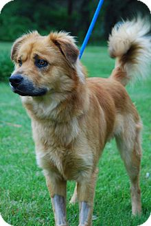 Chow Chow/Retriever (Unknown Type) Mix Puppy for adoption in Coeburn, Virginia - KITAI  (TY)
