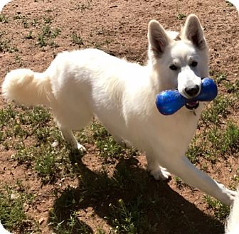 Siberian Husky/Shepherd (Unknown Type) Mix Dog for adoption in Snohomish, Washington - Luna, lovable husky mix!