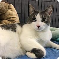 Adopt A Pet :: Oli - Los Angeles, CA