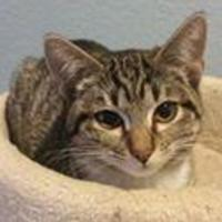 Adopt A Pet :: Mittens - Bethany, OK