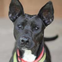 Shepherd (Unknown Type)/Terrier (Unknown Type, Small) Mix Dog for adoption in San Antonio, Texas - Nora