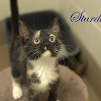 Adopt A Pet :: Stardust - Middleburg, FL