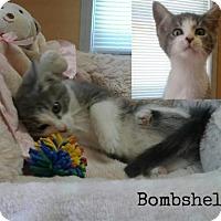 Adopt A Pet :: Bombshell - Harrisville, WV