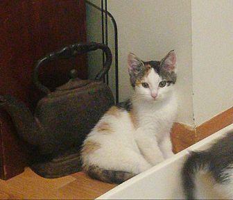 Domestic Shorthair Kitten for adoption in Medfield, Massachusetts - Aphrodite