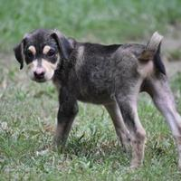 Adopt A Pet :: Pepe - Walpole, MA