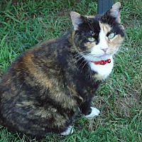 Calico Cat for adoption in Central Islip, New York - Ms. Pumpkin