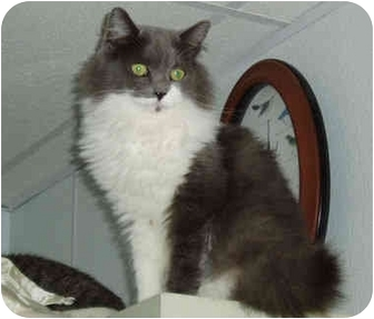 Domestic Longhair Cat for adoption in Pascoag, Rhode Island - Minnie