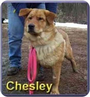 Golden Retriever/German Shepherd Dog Mix Dog for adoption in Aldie, Virginia - Chesley