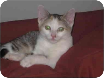 American Shorthair Kitten for adoption in Long Beach, New York - Samantha