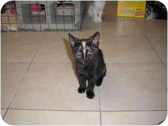 Domestic Shorthair Kitten for adoption in Tampa, Florida - Stripe