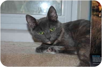 Domestic Shorthair Cat for adoption in Bay City, Michigan - Sassy~~ADOPTED~~