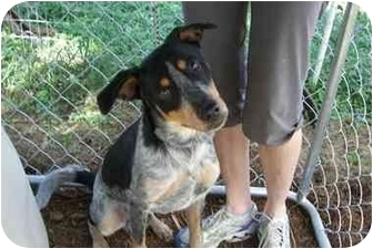 Pointer/Shepherd (Unknown Type) Mix Dog for adoption in Fair Oaks Ranch, Texas - Guapo