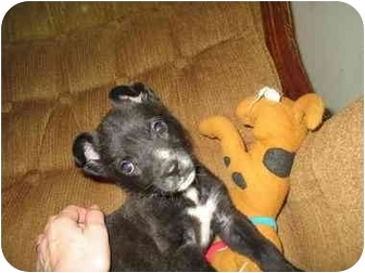 Terrier (Unknown Type, Small) Mix Puppy for adoption in Tuscola, Illinois - Luc
