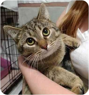 American Shorthair Cat for adoption in Troy, Michigan - Polly