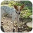 Photo 1 - Blue Heeler/Rat Terrier Mix Dog for adoption in Baton Rouge, Louisiana - Nelson
