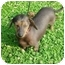 Photo 3 - Chinese Crested/Dachshund Mix Dog for adoption in North Judson, Indiana - Atticus