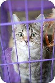 Domestic Shorthair Kitten for adoption in Dayton, Ohio - Ochocinco