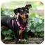 Photo 1 - Miniature Pinscher Mix Dog for adoption in Sherman Oaks, California - Jilly