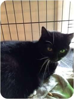 Domestic Shorthair Cat for adoption in Wenatchee, Washington - Jolene