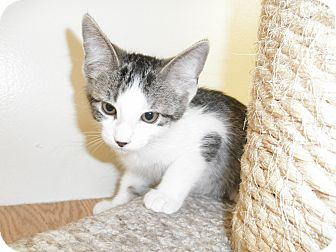 Domestic Mediumhair Kitten for adoption in Milwaukee, Wisconsin - Dakini