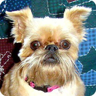 Brussels Griffon Dog for adoption in Sun Prairie, Wisconsin - Mischa -ADOPTION PENDING