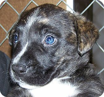 Labrador Retriever/American Staffordshire Terrier Mix Puppy for adoption in Grants Pass, Oregon - Froggy