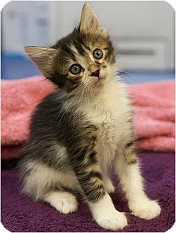Domestic Shorthair Kitten for adoption in Houston, Texas - Ingrid