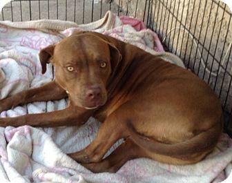 Labrador Retriever/Pit Bull Terrier Mix Dog for adoption in Santa Ana, California - Georgia