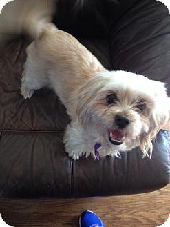 Maltese Mix Dog for adoption in Walker, Louisiana - Lady