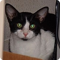 Domestic Shorthair Cat for adoption in Scottsdale, Arizona - Mr. Chips