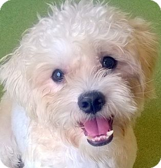 Poodle (Miniature)/Terrier (Unknown Type, Small) Mix Dog for adoption in Los Angeles, California - PRESLEY (video)