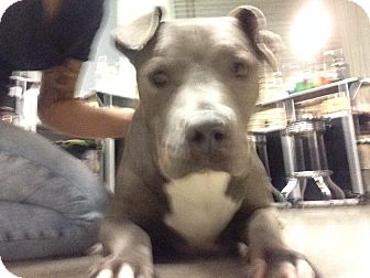American Pit Bull Terrier Dog for adoption in La Puente, California - ~URGENT~ Brenda