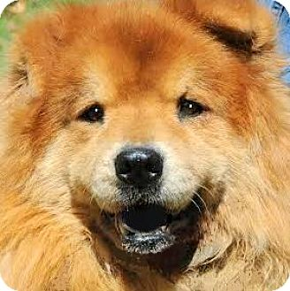Chow Chow Dog for adoption in Wakefield, Rhode Island - MUMBA(LOST HIS FAMILY PLS READ