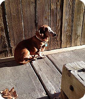 "Dachshund Dog for adoption in Louisville, Colorado - Memna ""Mem"""