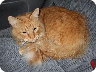 Maine Coon Cat for adoption in Lenexa, Kansas - Booker