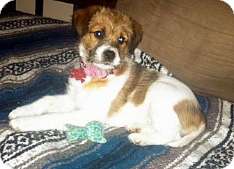 Terrier (Unknown Type, Medium) Mix Puppy for adoption in Woodlyn, Pennsylvania - Emmy