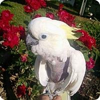 Adopt A Pet :: Snookums - Lenexa, KS
