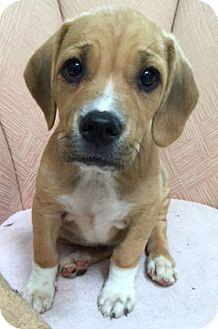 Labrador Retriever Mix Puppy for adoption in Schaumburg, Illinois - Norman