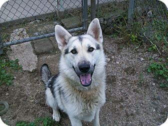 German Shepherd Dog/Husky Mix Dog for adoption in Reed City, Michigan - ZEUS