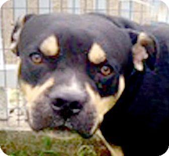 Boxer/Rottweiler Mix Dog for adoption in Maquoketa, Iowa - Rocky
